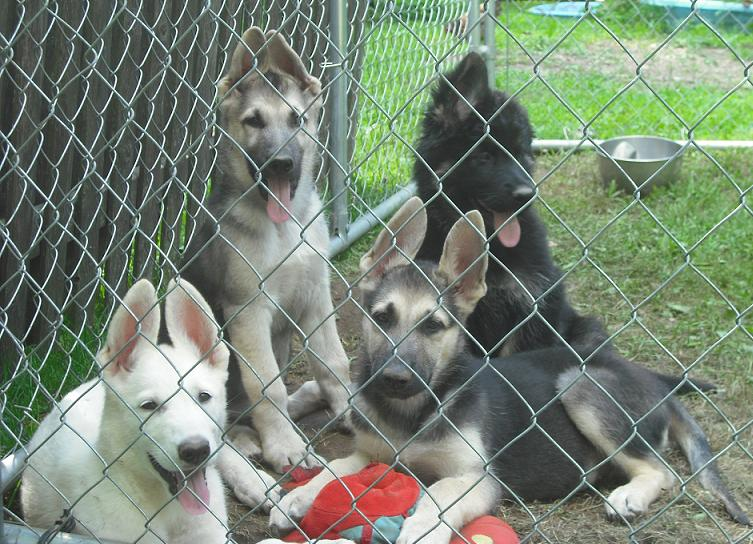 PUPS FROM PAST LITTERS ARE BELOW