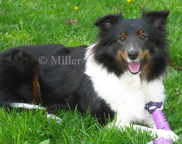 Kaylee, Black Tri Color Shetland Sheepdog