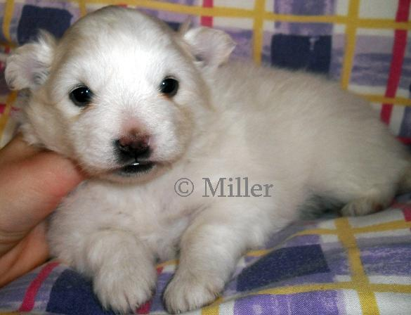 Fern, white and cream pomimo puppy