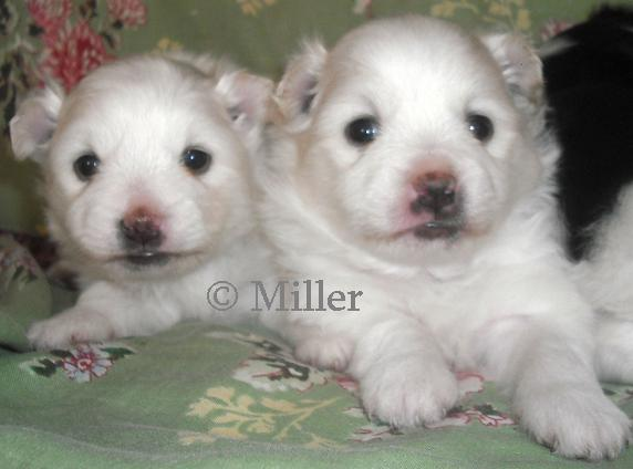 Fern on left, Aaron on right - Pomimo Puppies for sale