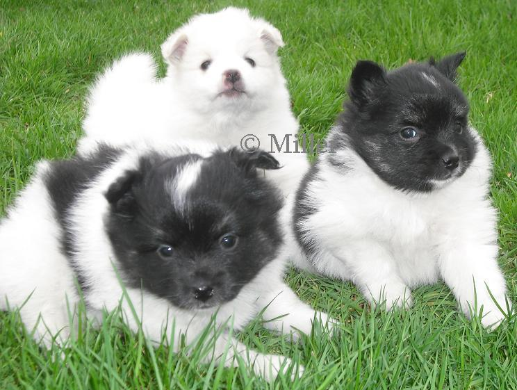 Pomimo Puppies for sale
