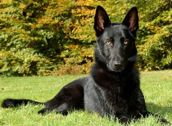 Black Paws Farm - AKC German Shepherd Dogs, Puppies