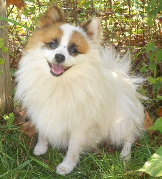 Pomeranian Sheltie Mix Rico, pomeranian 9lbs