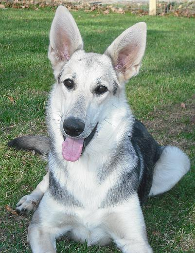 Taya, Silver Sable German Shepherd
